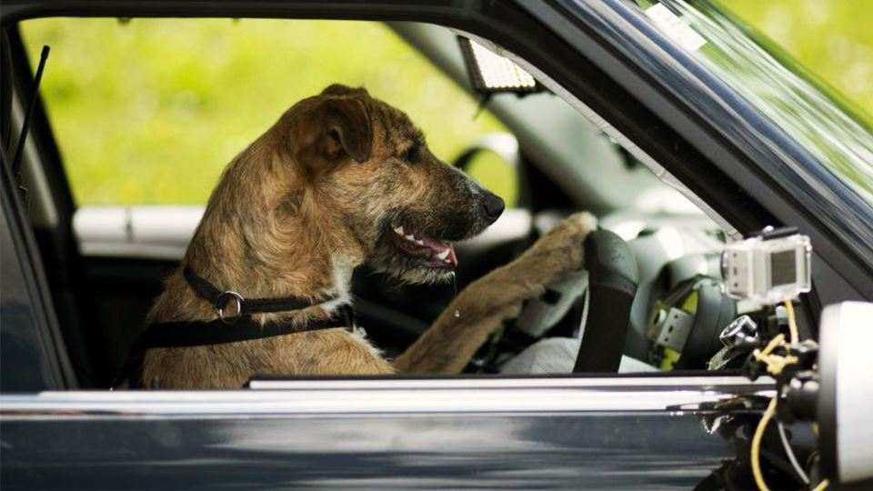 Estes cães conduzem automóveis...