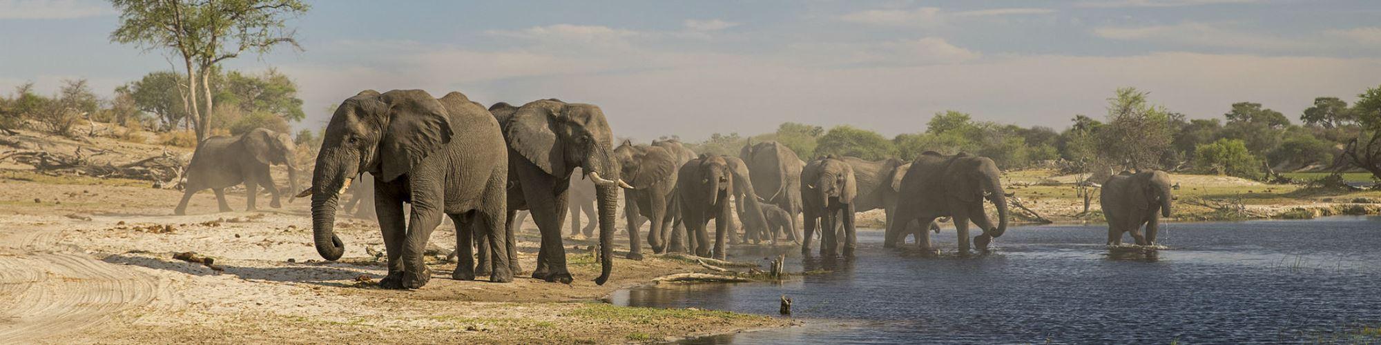 Está desvendada a misteriosa causa da morte de 300 elefantes no Botsuana