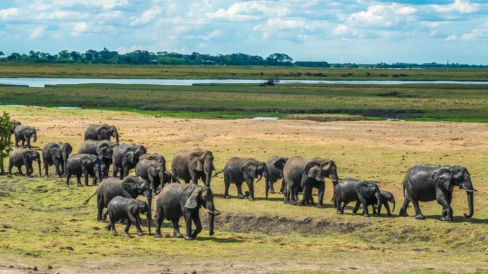Elefantes em manada