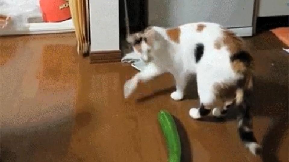 Porque é que os gatos têm medo...