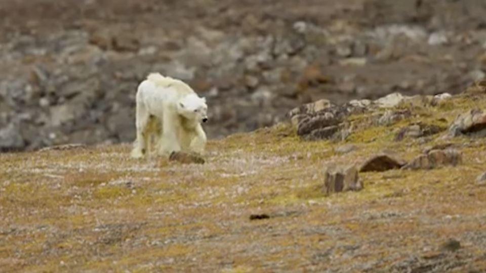 O vídeo do urso polar faminto ...