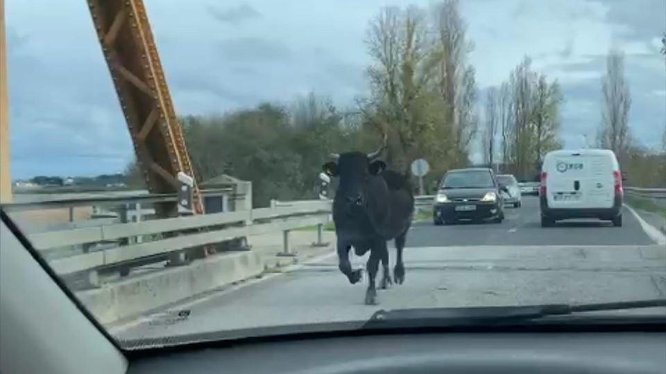 Vaca foge em Coruche e corre n...